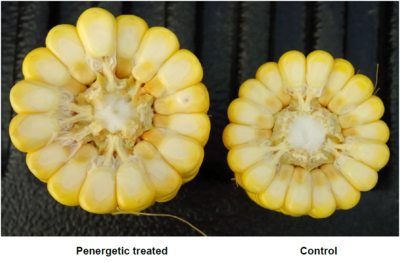 Corn testimonial USA left Penergetic - right control