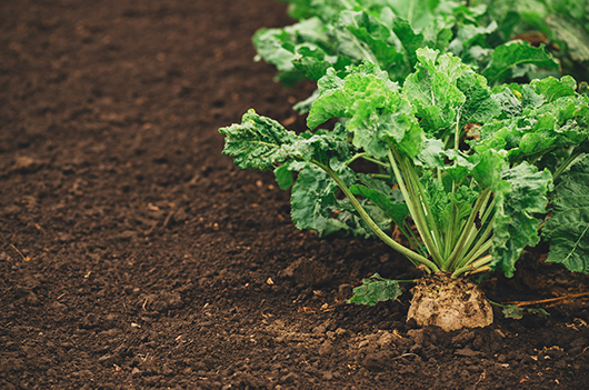 possible to reduce the fertilization of sugar beet with mineral nitrogen by 30% without reducing the biological yield of sugar and pure sugar yield